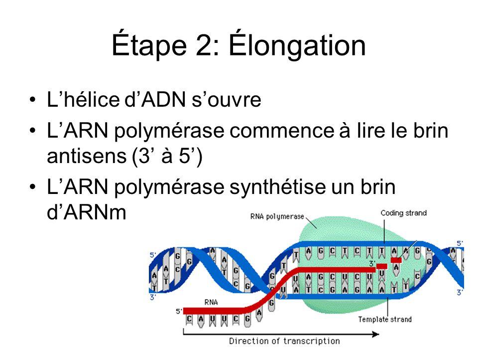 Étape 2: Élongation L'hélice d'ADN s'ouvre