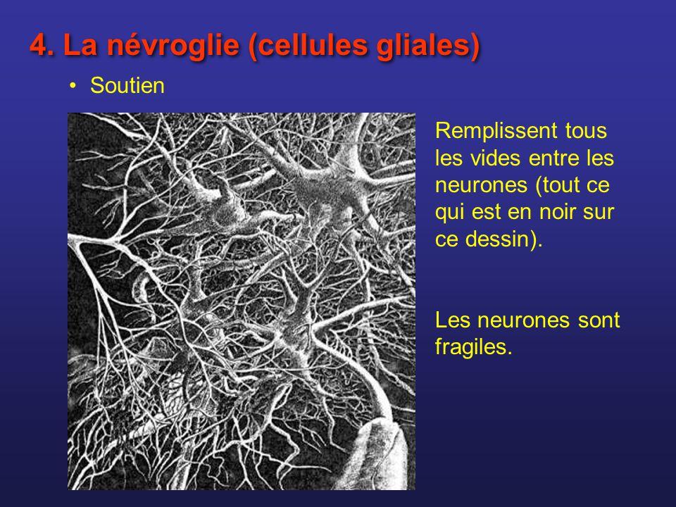 4. La névroglie (cellules gliales)
