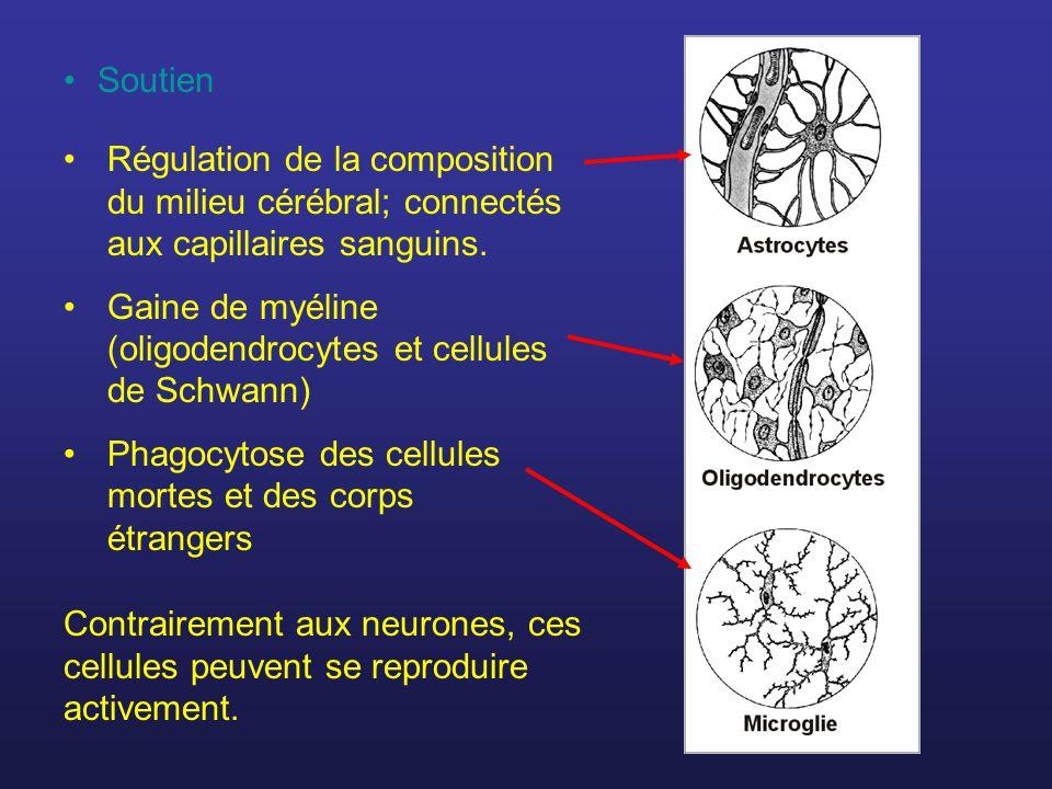 Soutien Régulation de la composition du milieu cérébral; connectés aux capillaires sanguins.