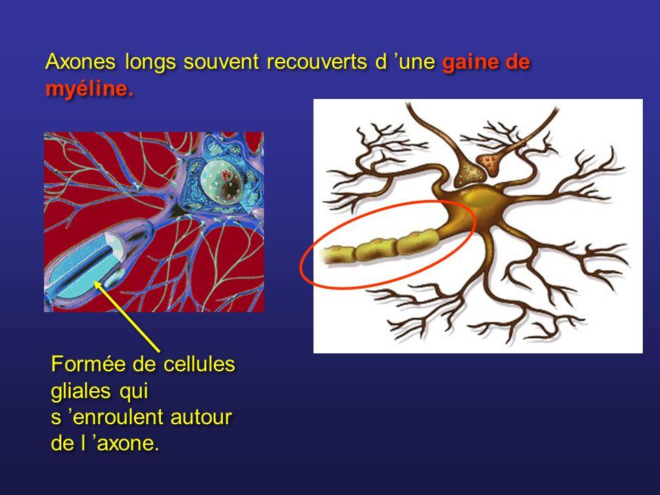 Axones longs souvent recouverts d 'une gaine de myéline.