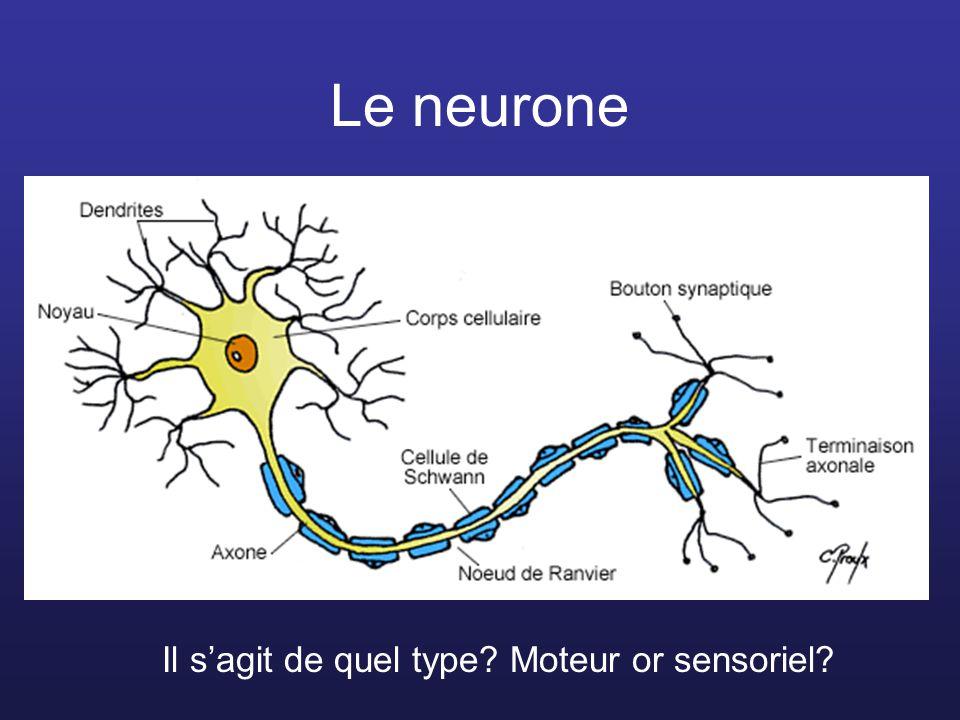 Le neurone Il s'agit de quel type Moteur or sensoriel