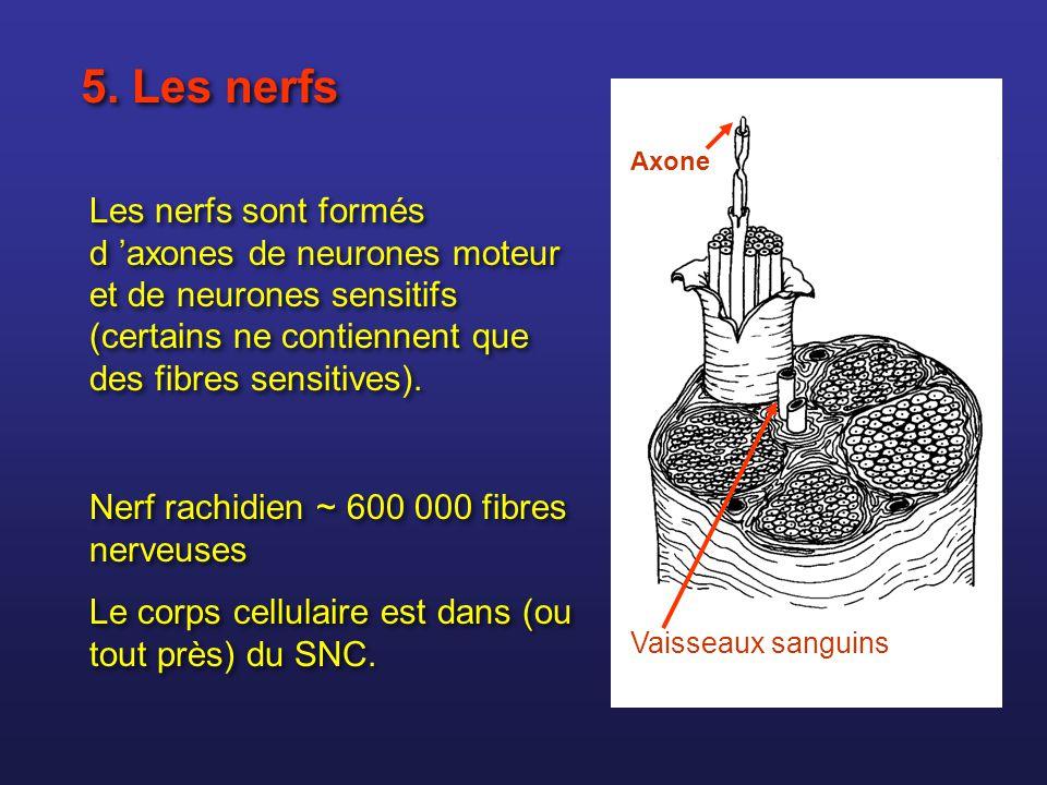 5. Les nerfs Axone. Les nerfs sont formés d 'axones de neurones moteur et de neurones sensitifs (certains ne contiennent que des fibres sensitives).
