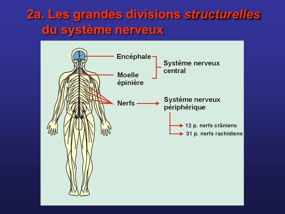 2a. Les grandes divisions structurelles du système nerveux
