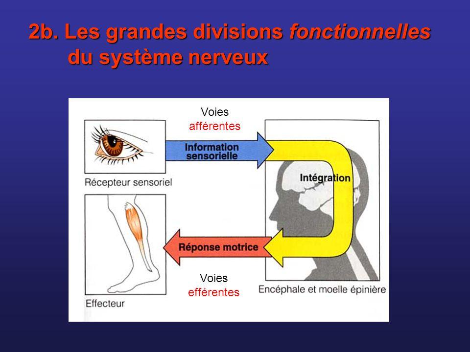 2b. Les grandes divisions fonctionnelles du système nerveux