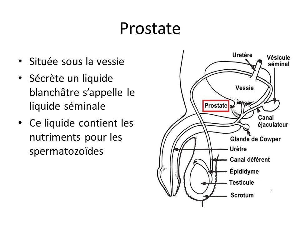 Prostate Située sous la vessie