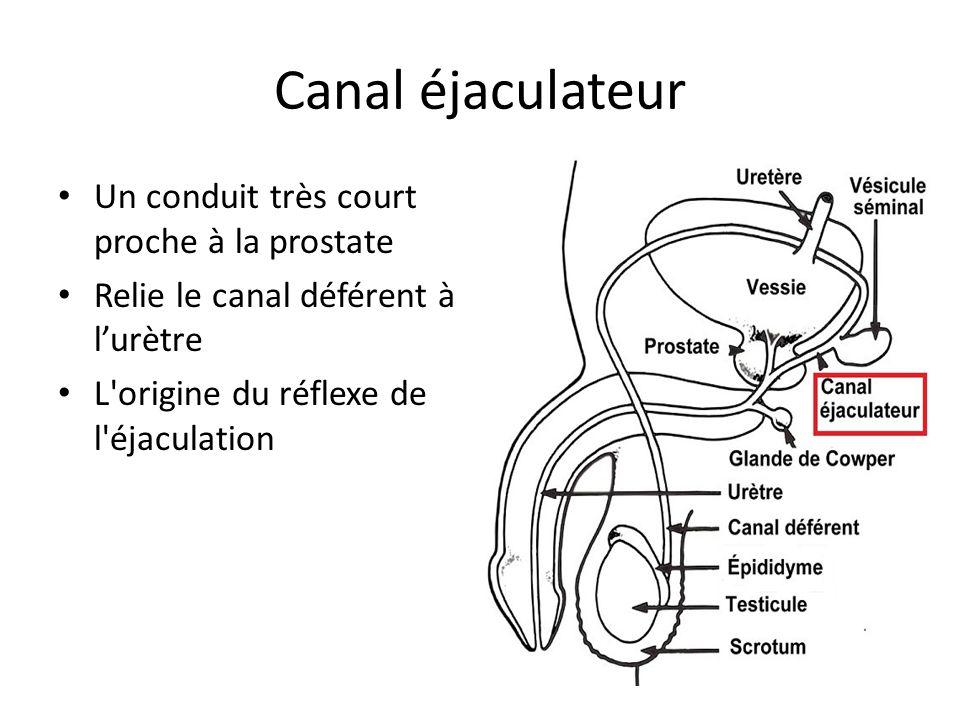 Canal éjaculateur Un conduit très court proche à la prostate