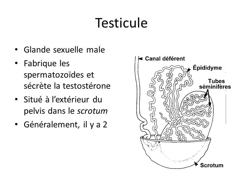 Testicule Glande sexuelle male