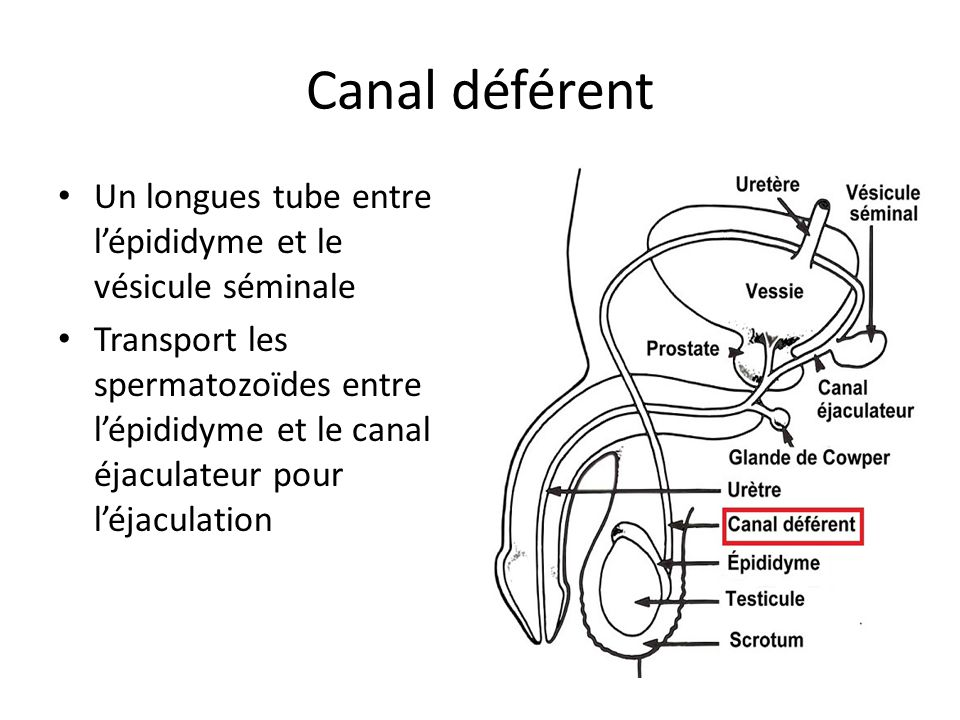 Canal déférent Un longues tube entre l'épididyme et le vésicule séminale.