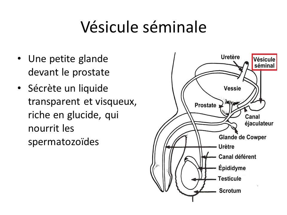Vésicule séminale Une petite glande devant le prostate