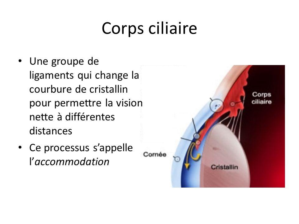 Corps ciliaire Une groupe de ligaments qui change la courbure de cristallin pour permettre la vision nette à différentes distances.