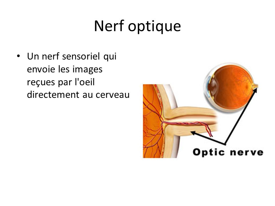 Nerf optique Un nerf sensoriel qui envoie les images reçues par l oeil directement au cerveau