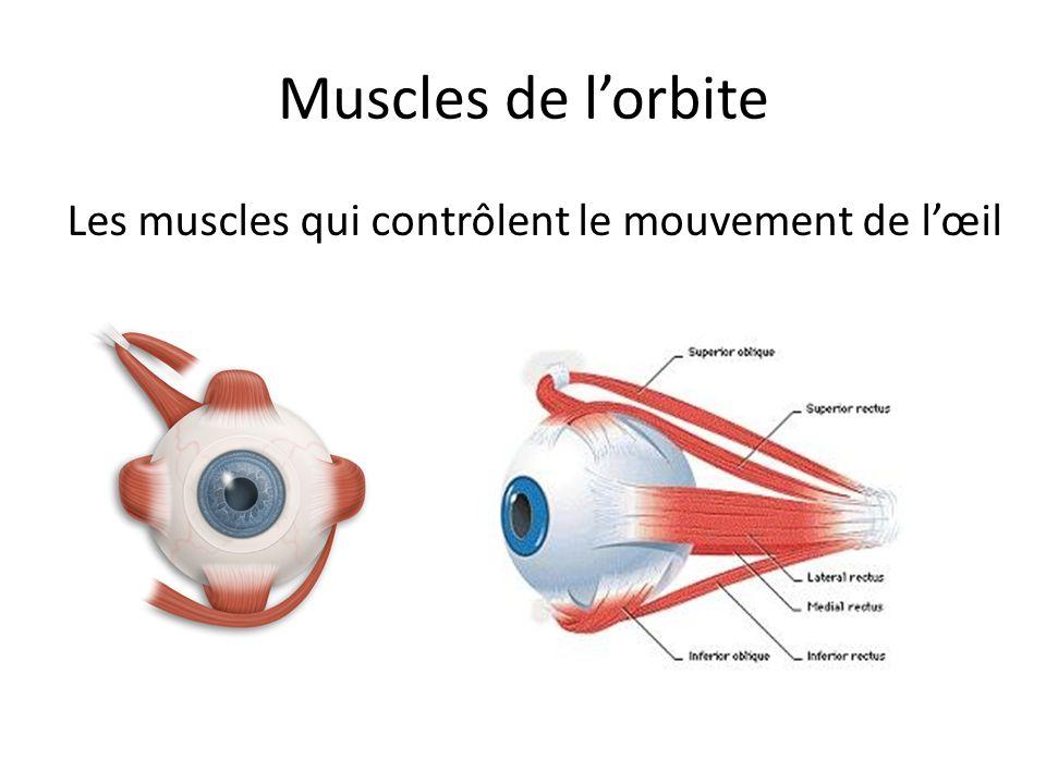 Les muscles qui contrôlent le mouvement de l'œil