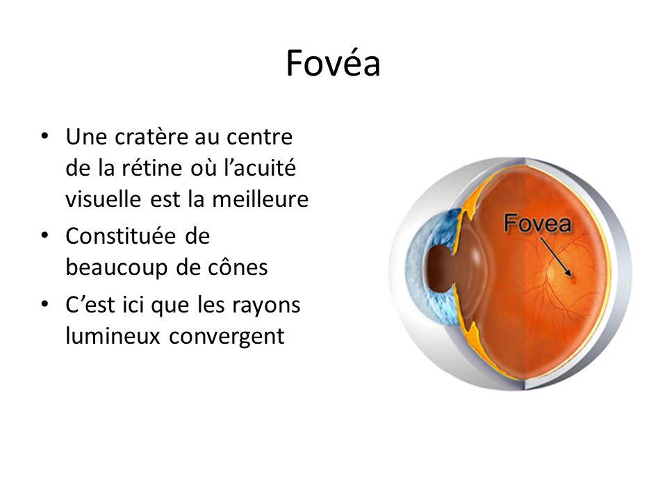 Fovéa Une cratère au centre de la rétine où l'acuité visuelle est la meilleure. Constituée de beaucoup de cônes.