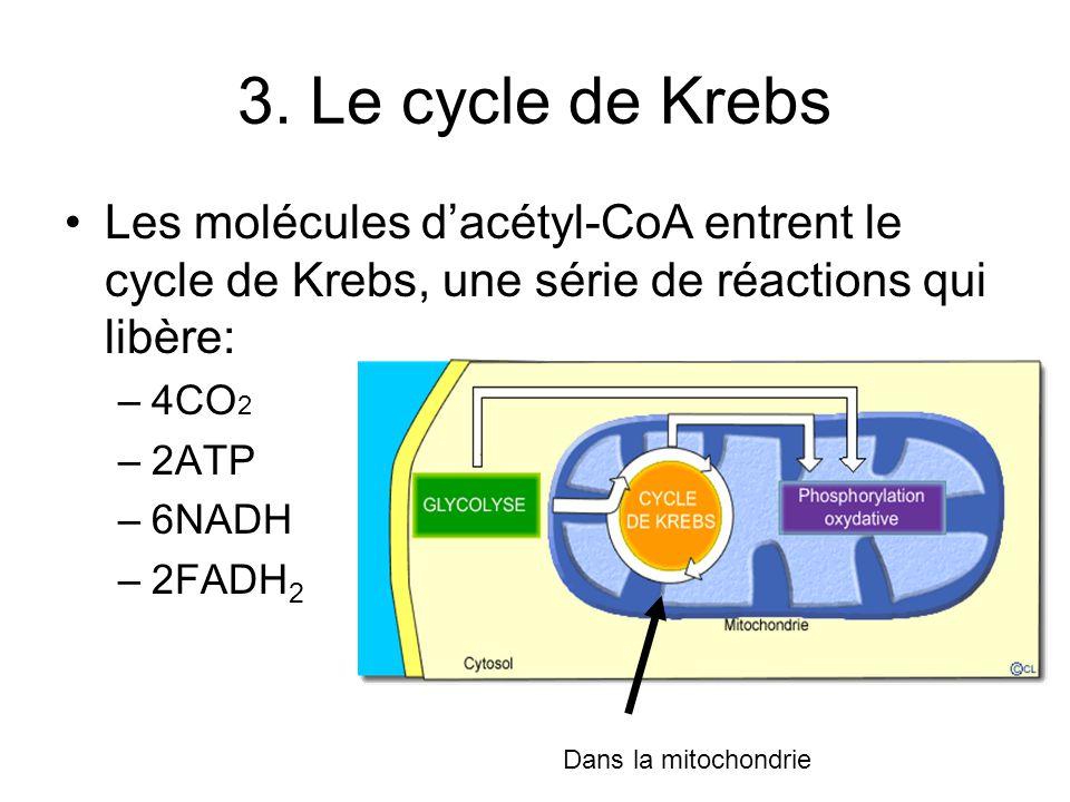 3. Le cycle de Krebs Les molécules d'acétyl-CoA entrent le cycle de Krebs, une série de réactions qui libère: