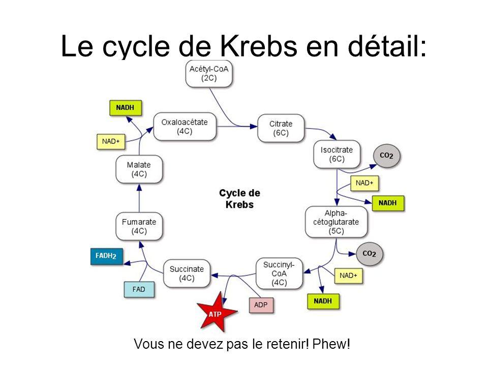 Le cycle de Krebs en détail: