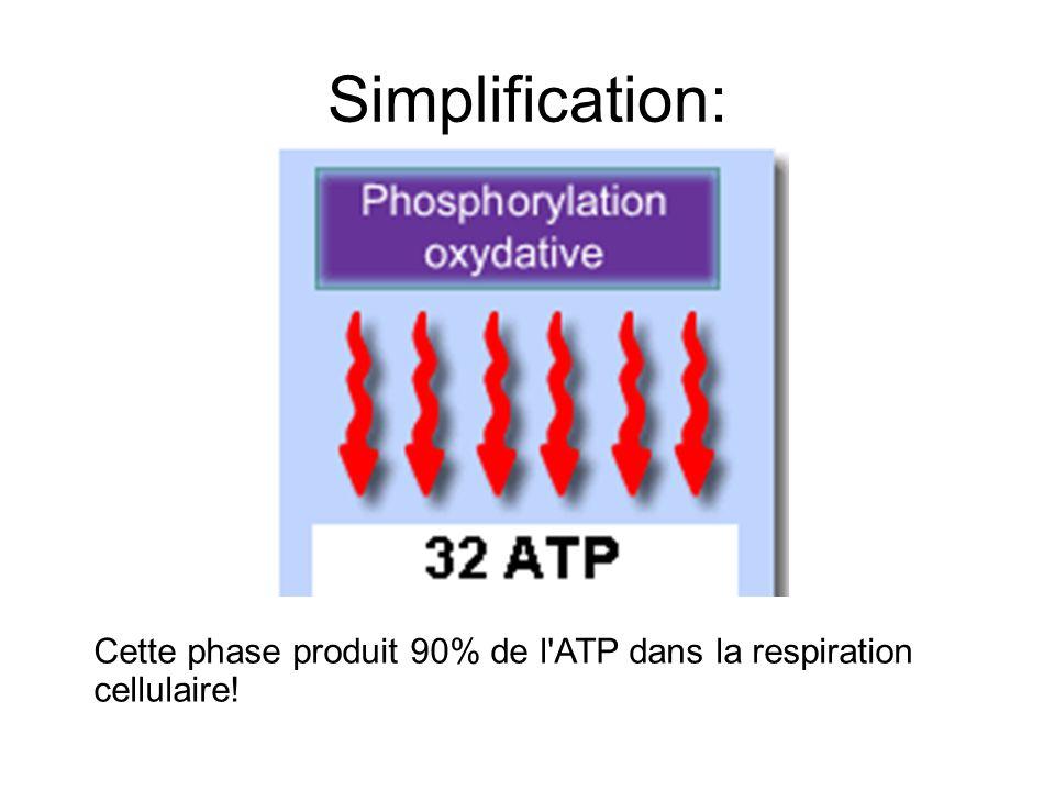 Simplification: Cette phase produit 90% de l ATP dans la respiration cellulaire!