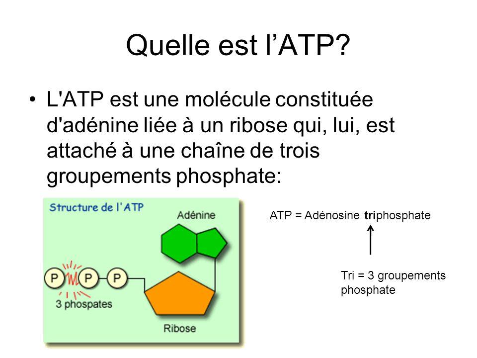 Quelle est l'ATP L ATP est une molécule constituée d adénine liée à un ribose qui, lui, est attaché à une chaîne de trois groupements phosphate: