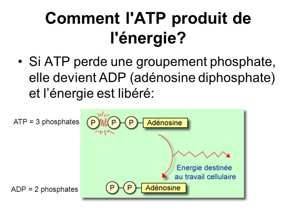 Comment l ATP produit de l énergie