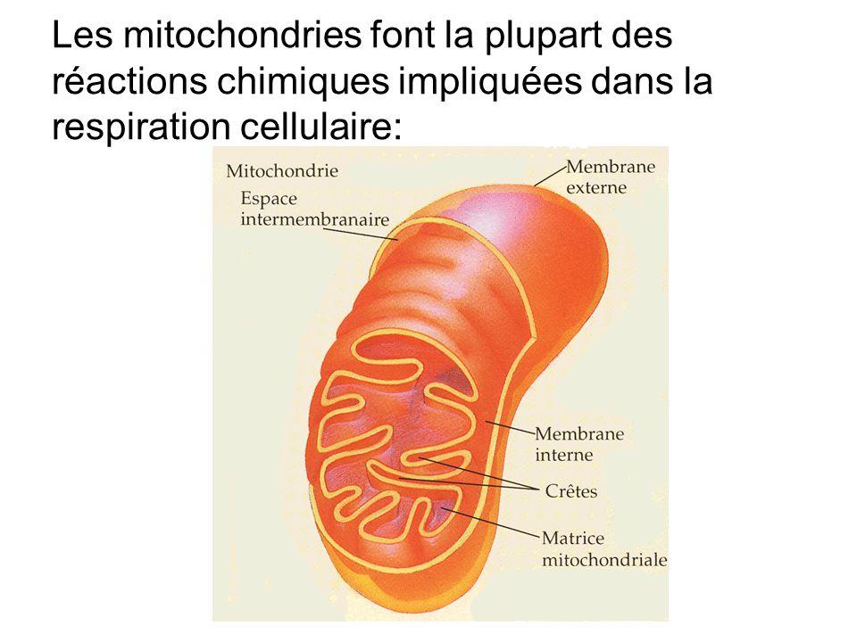 Les mitochondries font la plupart des réactions chimiques impliquées dans la respiration cellulaire: