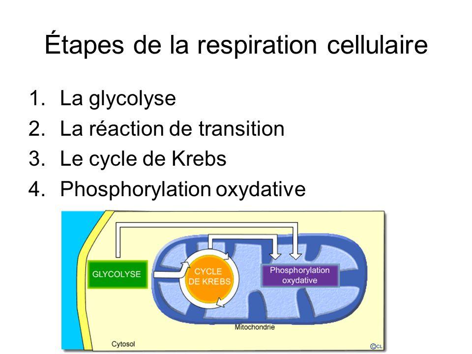 Étapes de la respiration cellulaire