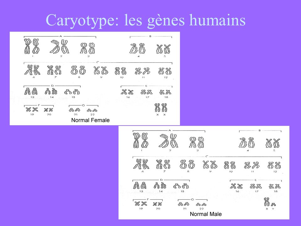 Caryotype: les gènes humains