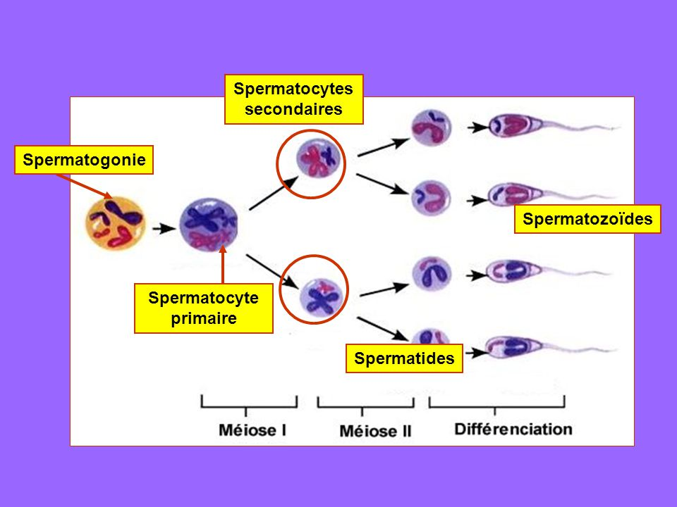 Spermatocytes secondaires