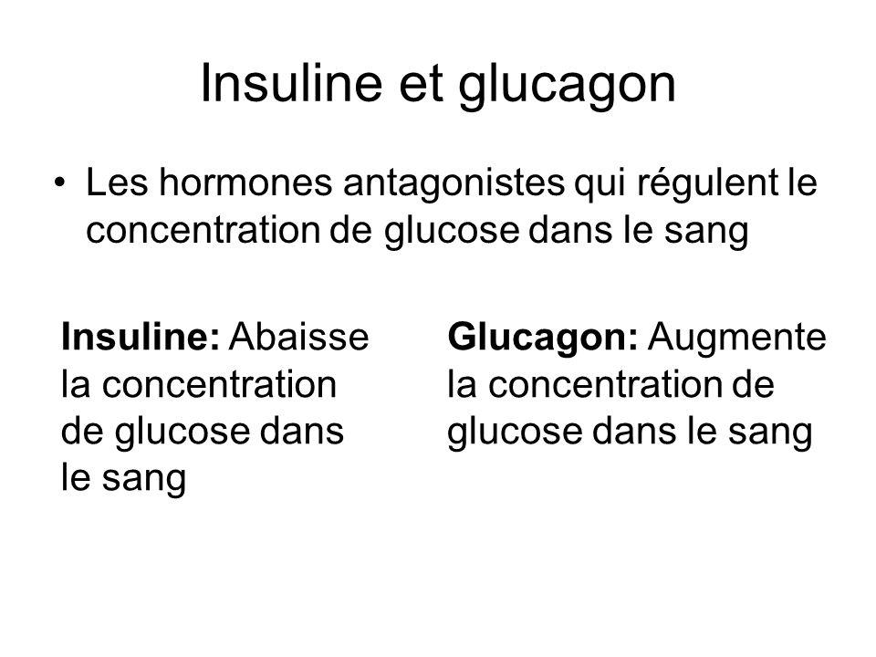 Insuline et glucagon Les hormones antagonistes qui régulent le concentration de glucose dans le sang.