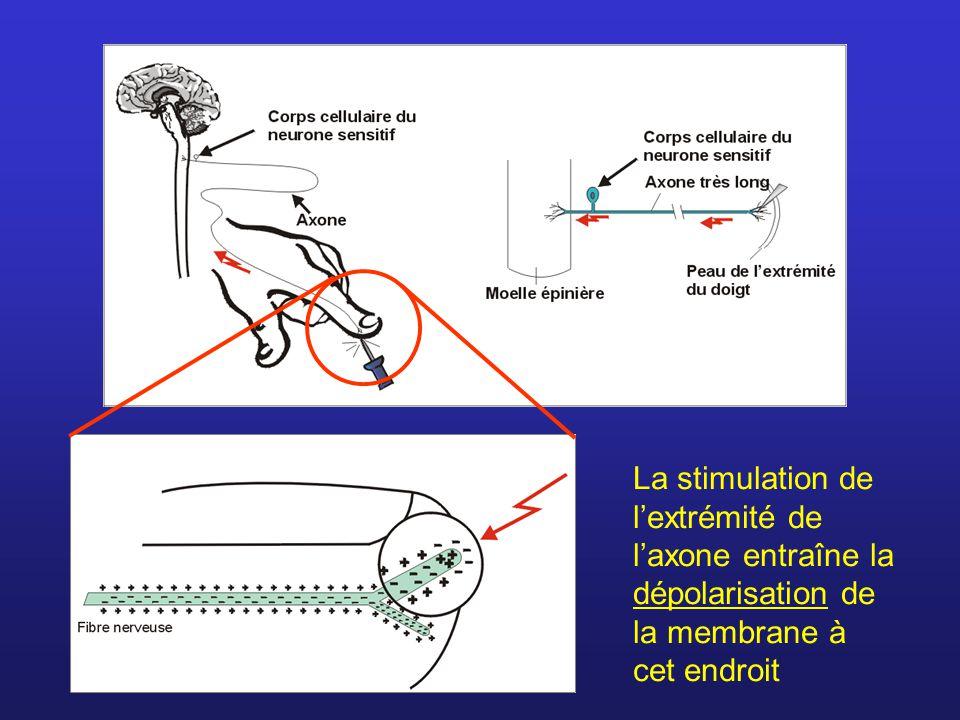 La stimulation de l'extrémité de l'axone entraîne la dépolarisation de la membrane à cet endroit
