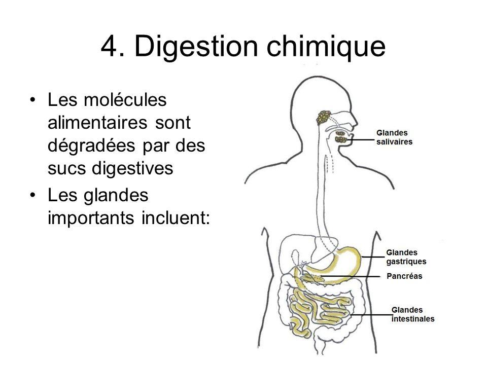 4. Digestion chimique Les molécules alimentaires sont dégradées par des sucs digestives.