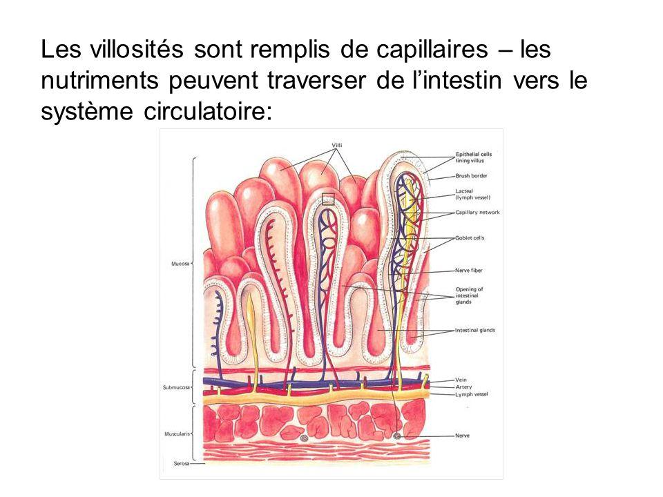 Les villosités sont remplis de capillaires – les nutriments peuvent traverser de l'intestin vers le système circulatoire: