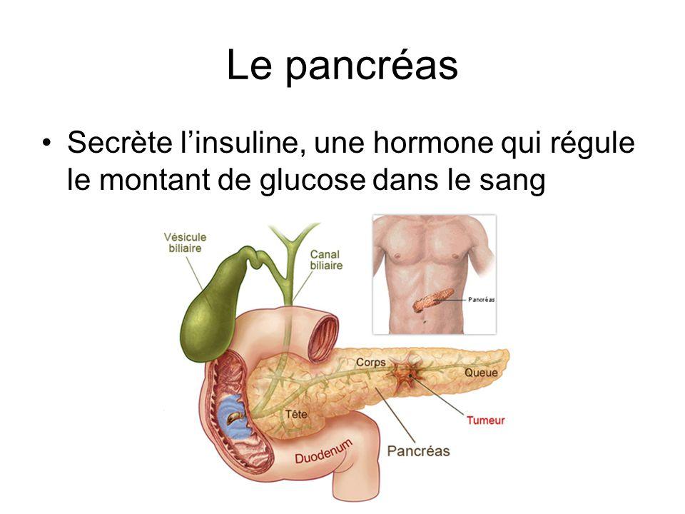 Le pancréas Secrète l'insuline, une hormone qui régule le montant de glucose dans le sang