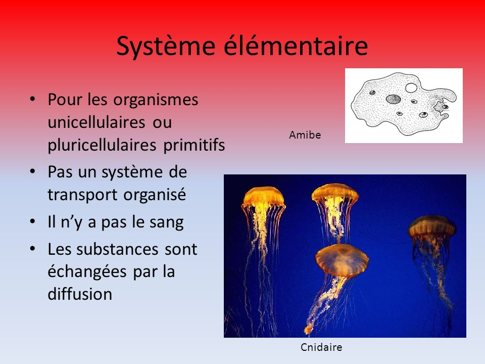 Système élémentaire Pour les organismes unicellulaires ou pluricellulaires primitifs. Pas un système de transport organisé.