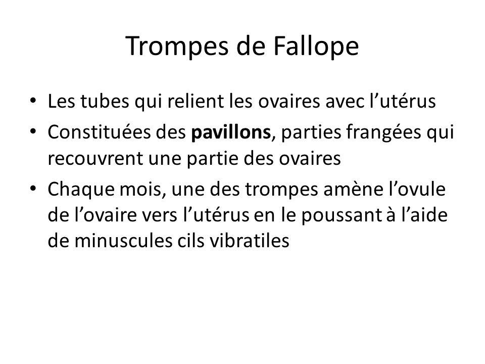 Trompes de Fallope Les tubes qui relient les ovaires avec l'utérus