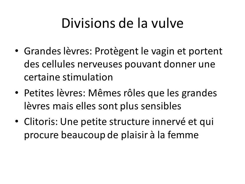 Divisions de la vulve Grandes lèvres: Protègent le vagin et portent des cellules nerveuses pouvant donner une certaine stimulation.