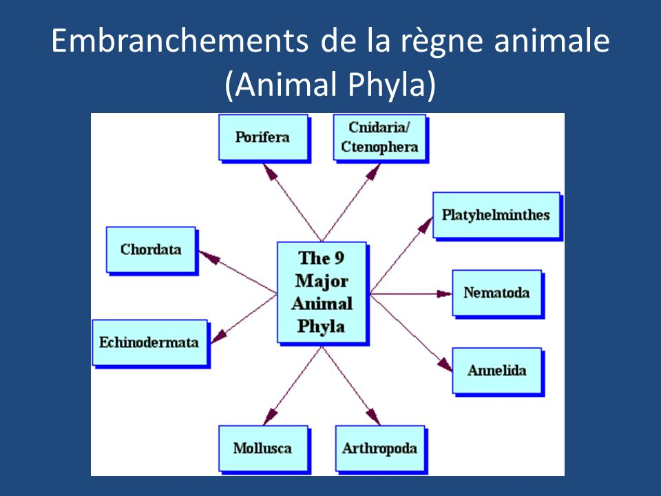 Embranchements de la règne animale (Animal Phyla)
