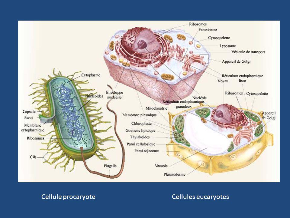 Cellule procaryote Cellules eucaryotes