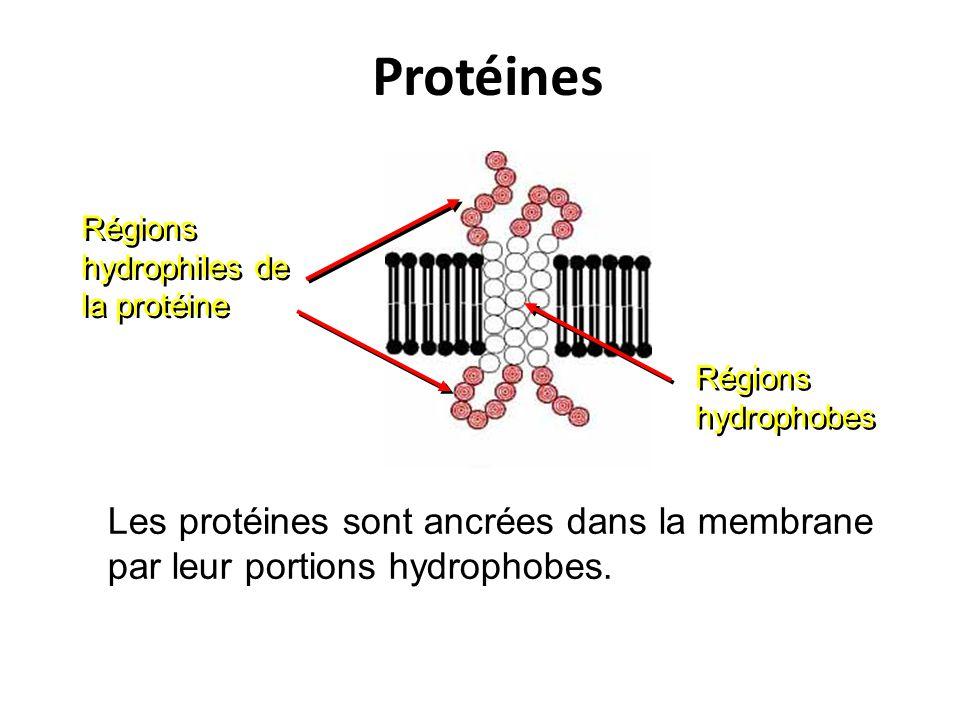 Protéines Régions hydrophiles de la protéine. Régions hydrophobes.