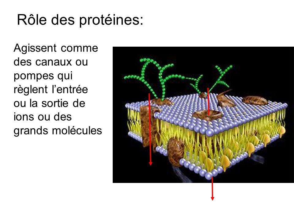 Rôle des protéines: Agissent comme des canaux ou pompes qui règlent l'entrée ou la sortie de ions ou des grands molécules.