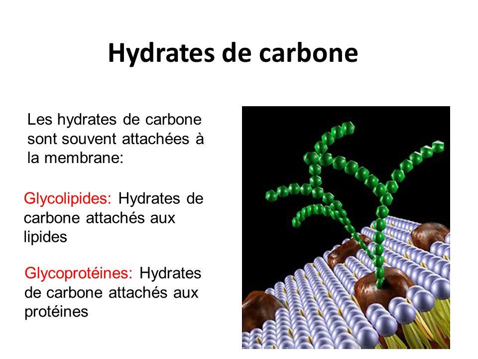 Hydrates de carbone Les hydrates de carbone sont souvent attachées à la membrane: Glycolipides: Hydrates de carbone attachés aux lipides.