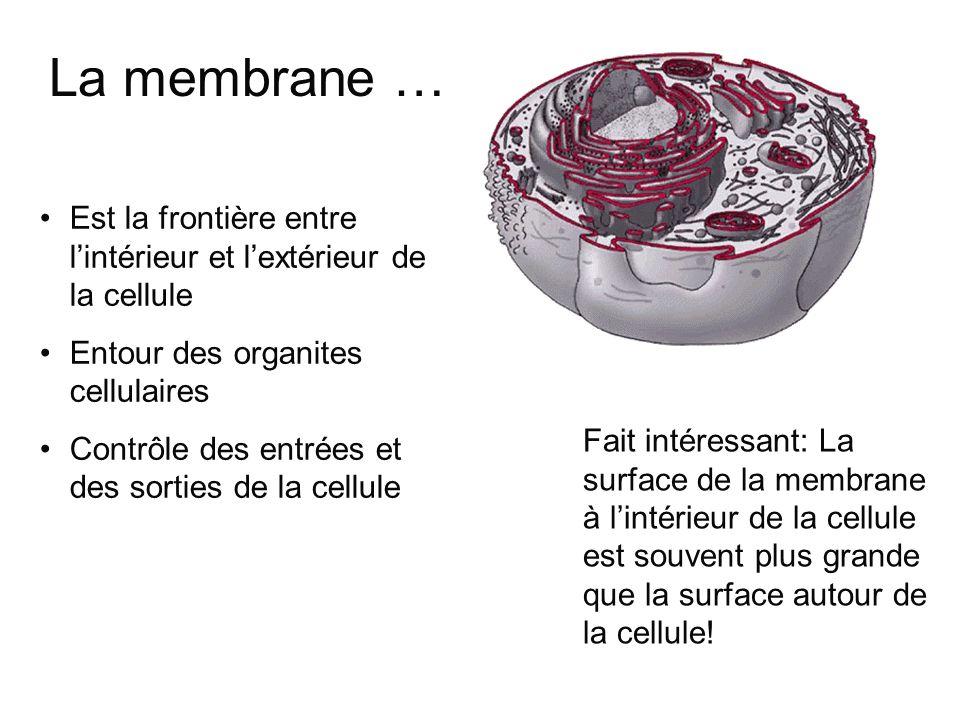 La membrane … Est la frontière entre l'intérieur et l'extérieur de la cellule. Entour des organites cellulaires.