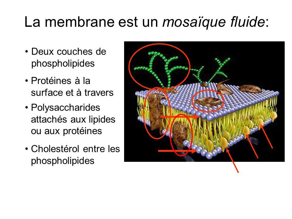 La membrane est un mosaïque fluide: