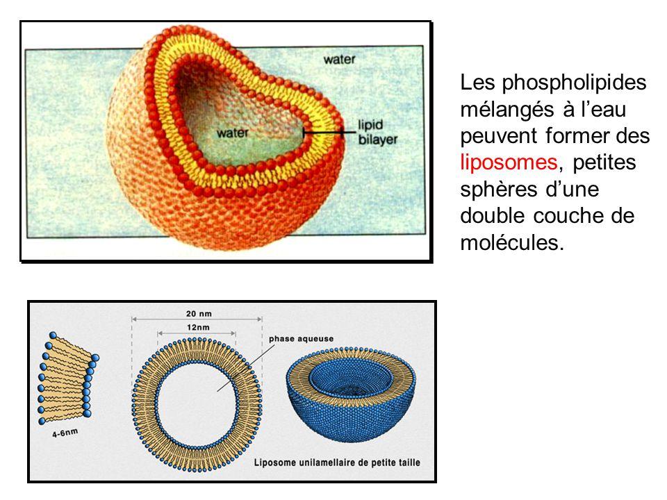Les phospholipides mélangés à l'eau peuvent former des liposomes, petites sphères d'une double couche de molécules.