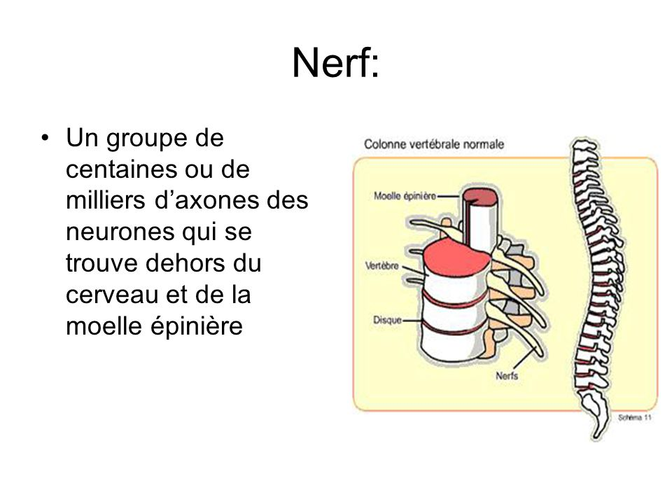 Nerf: Un groupe de centaines ou de milliers d'axones des neurones qui se trouve dehors du cerveau et de la moelle épinière.
