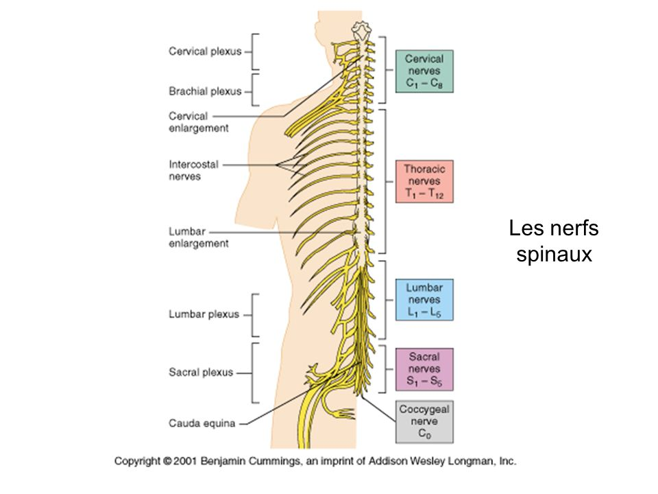 Les nerfs spinaux