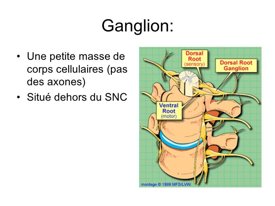 Ganglion: Une petite masse de corps cellulaires (pas des axones)