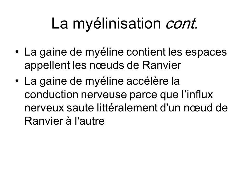 La myélinisation cont. La gaine de myéline contient les espaces appellent les nœuds de Ranvier.