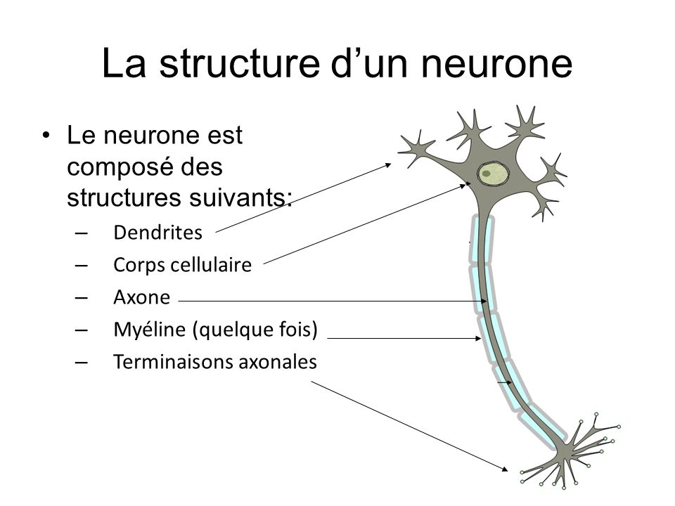 La structure d'un neurone