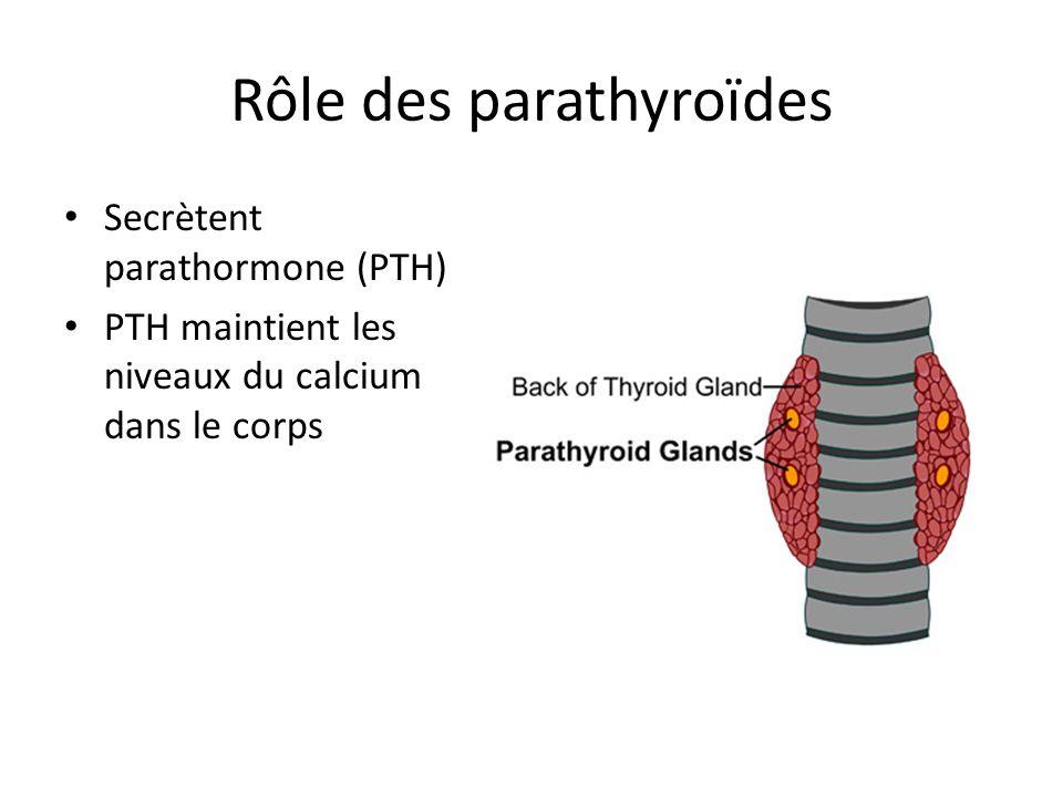Rôle des parathyroïdes