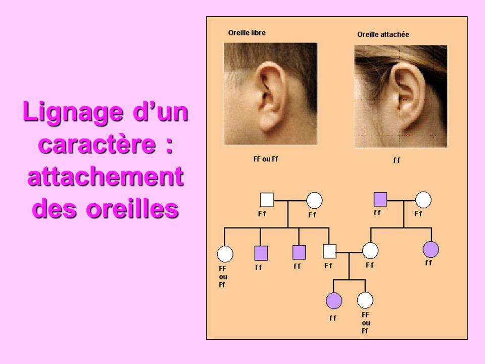Lignage d'un caractère : attachement des oreilles