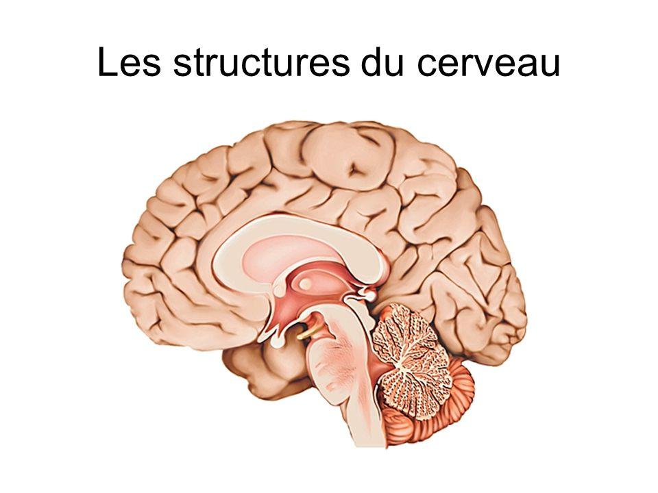Les structures du cerveau